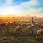 white-sheep-on-farm-693776.jpg